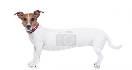 Photo pour Un très long blanc jack terrier de russel à la recherche pour vous - image libre de droit