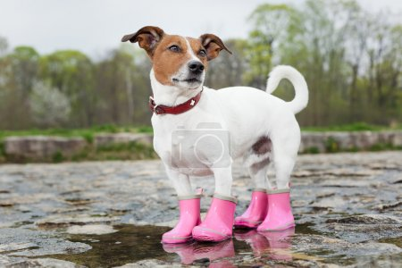 Photo for Dog wearing pink rubber boots inside a puddle - Royalty Free Image