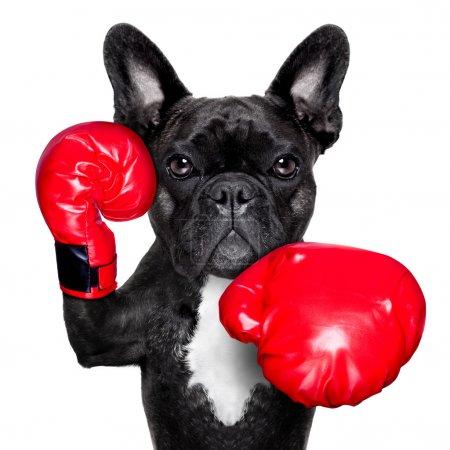 Photo pour Bouledogue français chien de boxe avec des gros gants rouges - image libre de droit