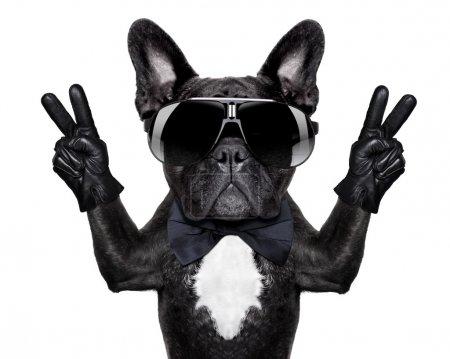 Photo pour Bouledogue français avec les doigts de victoire ou de la paix et lunettes noires - image libre de droit