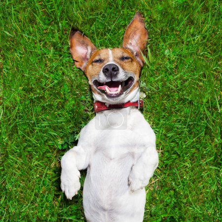 Photo for Super funny face dog lying on back on green grass and laughing out loud - Royalty Free Image