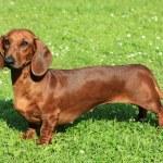 Standard smooth-haired dachshund in the garden...
