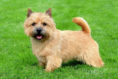 The typical Norwich Terrier on a green grass lawn