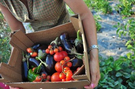 Organic farming, harvesting of vegetables. Basket ...