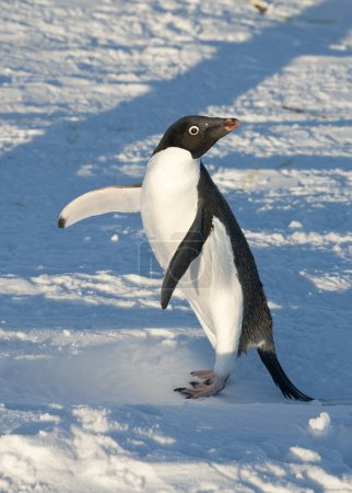 Adelie Penguin on snowy beach warming up a sunny day.