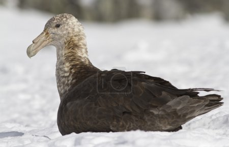 Adult individual southern giant petrel sitting in ...