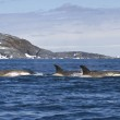Flock orcas or killer whales swimming along the An...