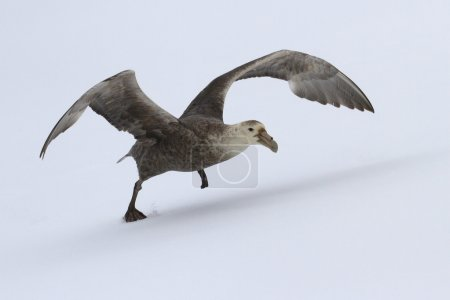 Outhern giant petrel during take-off from the snow...