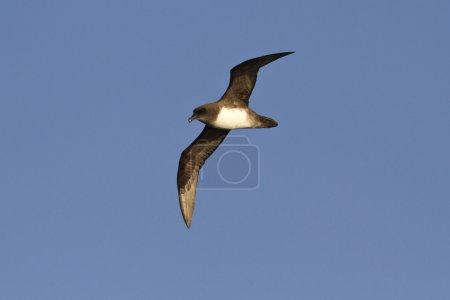 Atlantic or Schlegels petrel flying over the Atlan...