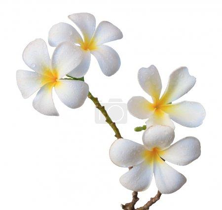Photo pour Fleur frangipani blanche isolée blanche - image libre de droit