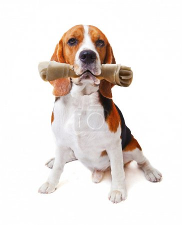 Face of beagle dog with rawhide bone in his mouth isolated white