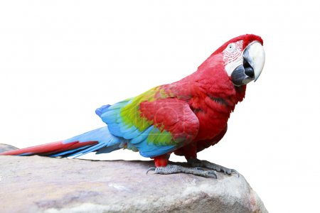 Green-winged Macaw, Ara chloropterus perching on rock ground iso