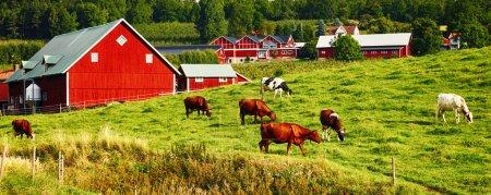Photo pour Ancienne ferme rouge dans un environnement rural avec bétail de pâturage, paysages de Suède, perspective panoramique - image libre de droit