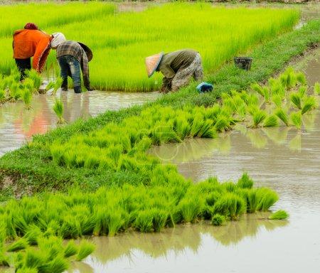 Laos farmer planting on the paddy rice farmland