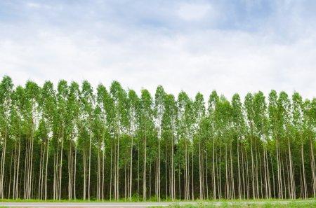 Photo pour Forêt d'eucalyptus en Thaïlande, plats pour l'industrie du papier - image libre de droit