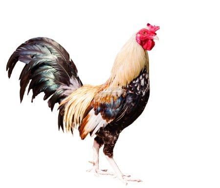 Chicken on white background