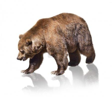 Photo pour Ours brun sur fond blanc - image libre de droit