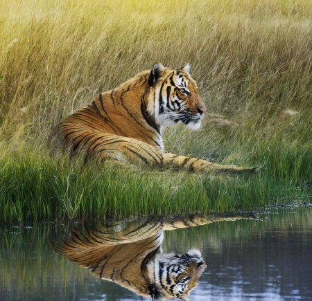 Photo for Tiger Relaxing On Grassy Bank With Reflection In Water - Royalty Free Image