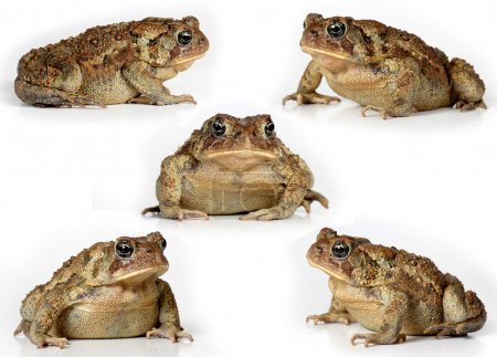 Set of toads Isolated on white background
