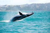 Buckelwal Sprung aus dem Wasser