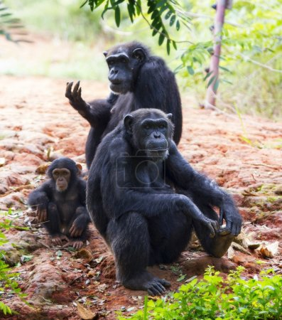 Photo pour La famille d'un chimpanzé assis et vous détendre dans la nature. - image libre de droit