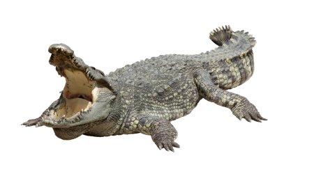 Asian crocodile sleep and relax action