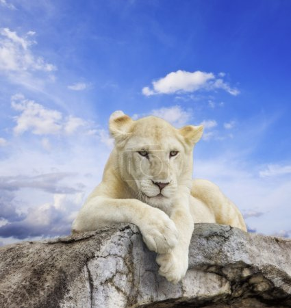 Photo for White lion with blue sky background. - Royalty Free Image