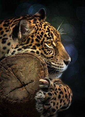 Photo pour Jaguar et a vécu en Amérique centrale et Amérique du Sud - image libre de droit