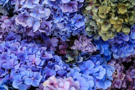 Photo pour Plumbago, une fleur sud-africaine aux fleurs bleues et violettes - image libre de droit