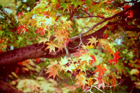 Autumn maple leaves in garden with retro filter effect