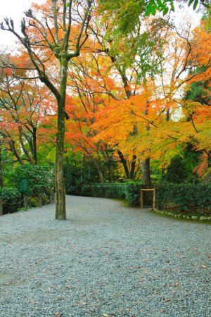 Japan in red maple trees