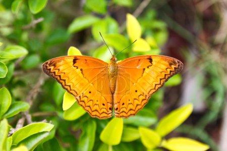 Foto de Mariposa de color naranja grande en la hoja - Imagen libre de derechos