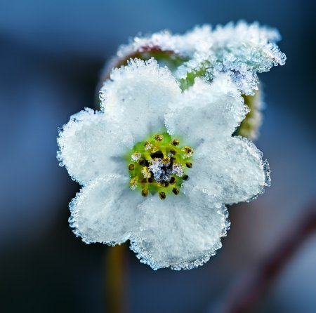 Frozen white flower