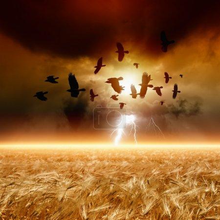 Flock of flying ravens, wheat field