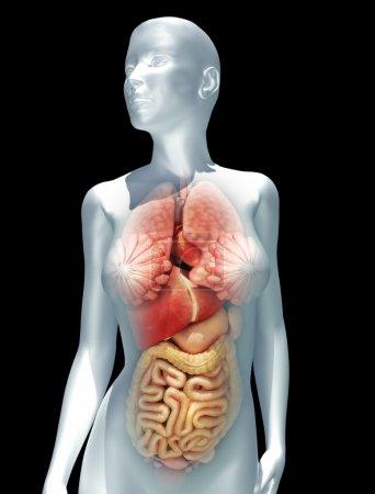 Photo pour Humain illustration féminine en mettant l'accent sur le poumons, foie, cœur, estomac et intestines.male version est également disponible. partie d'une série médicale - image libre de droit