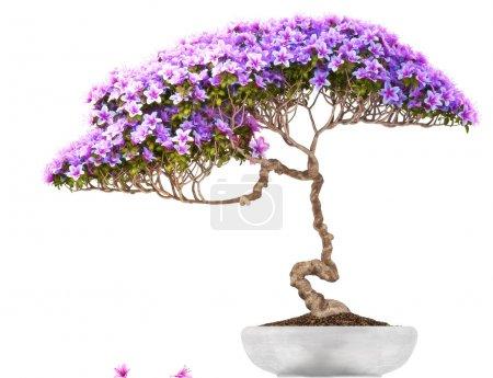 Bonsai potted tree