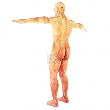 Photo pour Système nerveux mâle humain sur un fond blanc. partie d'une série médicale - image libre de droit