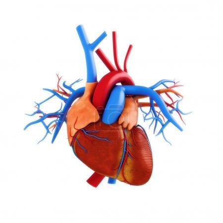 Photo pour Illustration de l'anatomie cardiaque humaine sur un fond blanc .part d'une série médicale - image libre de droit