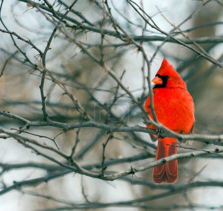 A closeup photo of a bright red Cardinal bird in w...