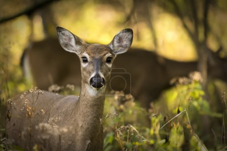 Two white tailed deer standing alert in the woods....
