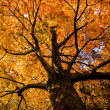 Looking up at the colorful orange foliage of a Red...
