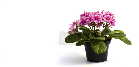 Pink Beautiful Orchid in a pot on a white background