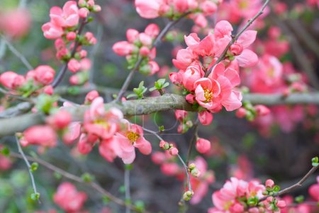 Photo for Spring background with pink blossom, flowers and buds - Royalty Free Image
