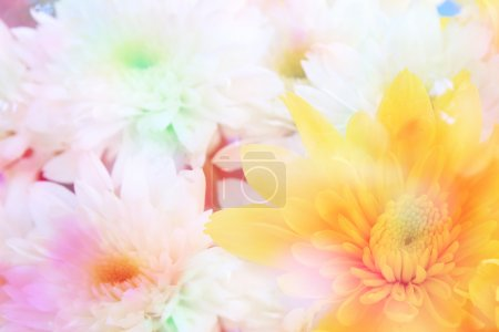 Colorful chrysanthemum flower close up