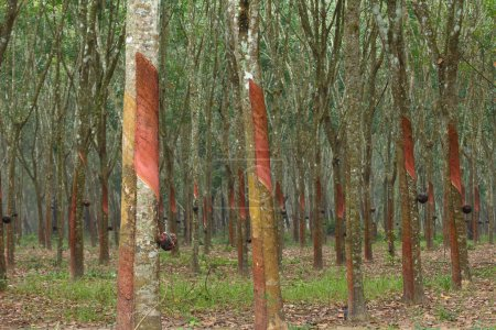 Rubber trees in southern Thailand