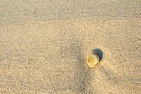 Seashell on white beach sand