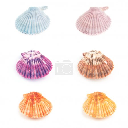 Photo for Colorful set  of Scallop seashells isolated on white background - Royalty Free Image