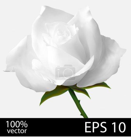 White rose flower.