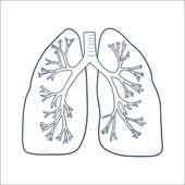 Anatomical lungs isolated on white
