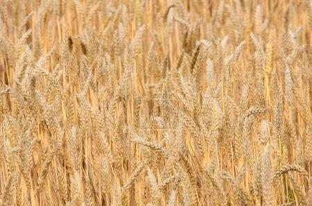 The golden wheat